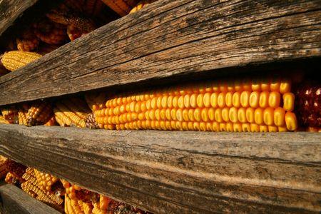 Closeup shot of corncob in the old granary