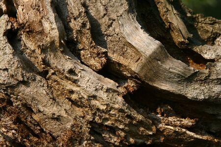 Closeup shot of cortex of big old tree