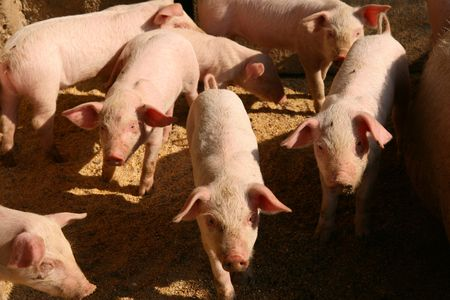 Shot of few pigs in the piggery on the farm yard.