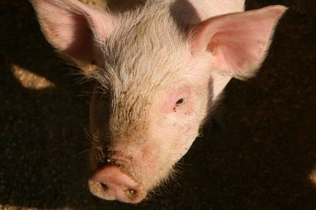 Shot of pig in the piggery on the farm yard.
