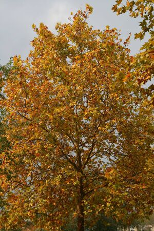 Shot of tree with a beautiful color in autumn-fall Stock Photo
