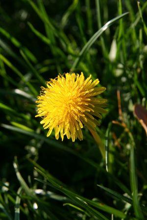 Closeup shot of dandelion flower in the meadows