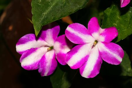 this is a closeup shot of Impatiens flower, by sunny day.