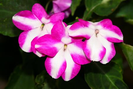 impatiens: this is a closeup shot of Impatiens flower by sunny day. Stock Photo