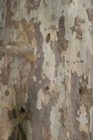 this is a close up shot of the bark on a 300 years old big plane tree