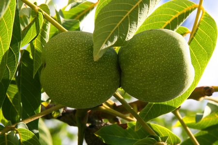 this is a close up shot of green walnuts on the branch of the tree like nice nature background