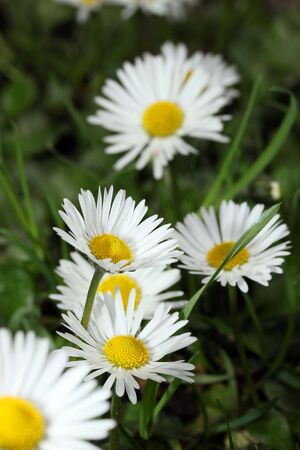 This is a closeup shot of flower white daisy, with shallow dof, like nice nature background. Stock Photo