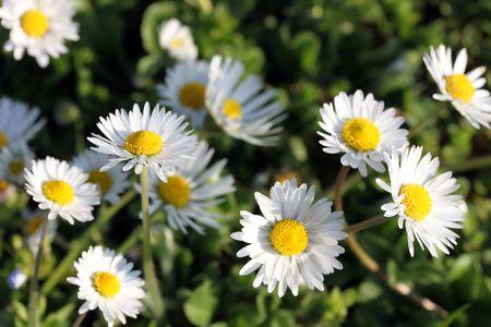 Dies ist ein B�ndel von Blumen White Daisy, wie sch�ne Natur Hintergrund. Lizenzfreie Bilder