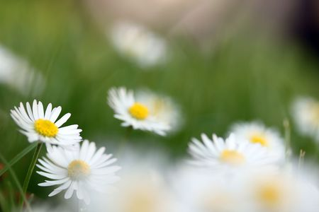 This is a bundle of flowers white daisy, like nice nature background. Shallow dof. Stock Photo