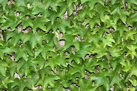 This is a closeup shot of green ivy, like nice nature background.