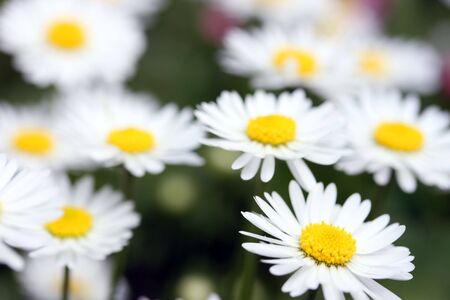 This is a closeup shot of daisy flower, shallow dof. photo