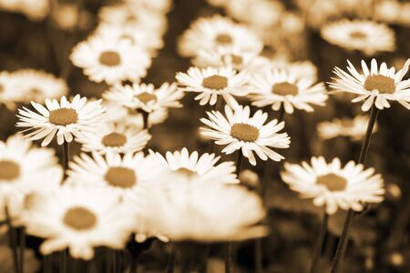 this is a field of daisy flower in sepia color, like nice retro flower background.