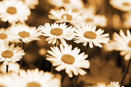 this is a field of daisy flower in sepia color, like nice retro flower background Stock Photo