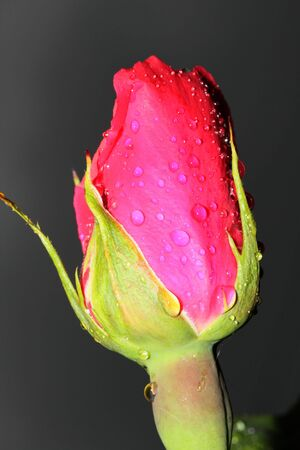This is a closeup shot of rose bud, with  rain drops, like nice flower background Stock Photo