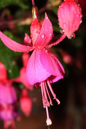 fuschia: This is a fuschia flower, like nice flower background.