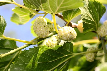 White mulberry, unripe, on the tree, like nice background.