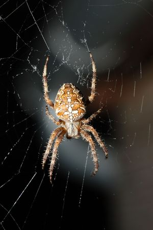 This is a closeup shot of cross or garden spider in the net.