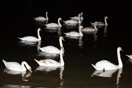Dies ist eine Herde von Schw�ne auf dem Fluss, in der Nacht