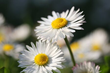 shallow dof: White Daisy flower, closeup shot, shallow dof.