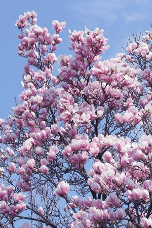 Magnolia tree, with blue sky in the background. photo