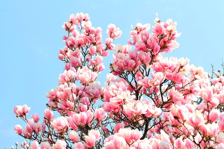 Magnolia tree, with blue sky in the background.