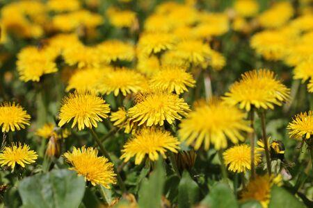 Field of yellow dandelion flower, shallow dof. Stock Photo