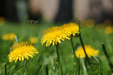Dandelion flower, closeup shot, shallow dof. photo