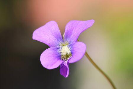 shallow dof: Closeup shot of Violet flower, shallow dof.