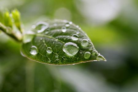 Leaf with rain drops, closeup shot, shallow dof.