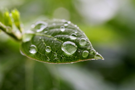 Leaf with rain drops, closeup shot, shallow dof.