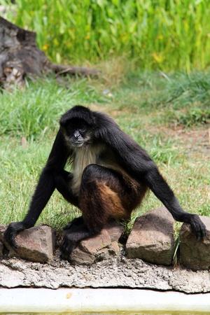Affe sitzt auf dem Rand des Rasens.