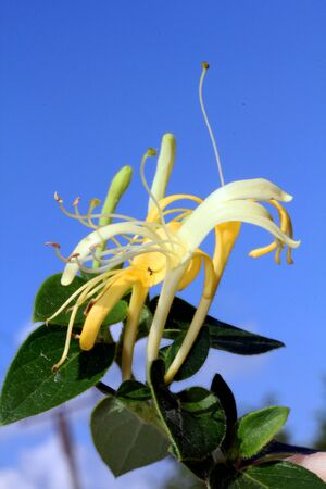 Closeup shot of honeysuckle flower, with blue sky in the background. photo