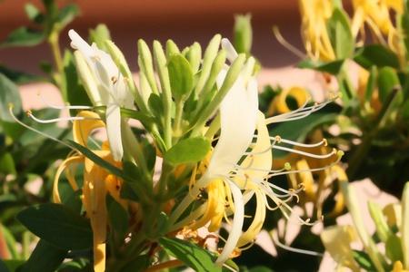 honeysuckle: Closeup shot of  Lonicera - Honeysuckle flower Stock Photo
