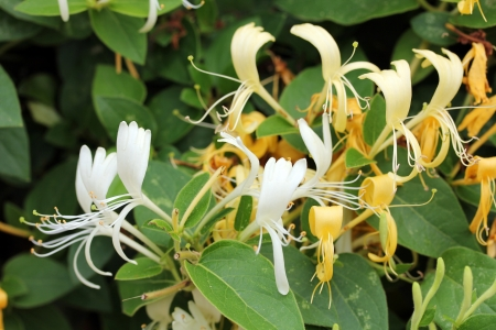 Closeup shot of  Lonicera - Honeysuckle flower Stock Photo