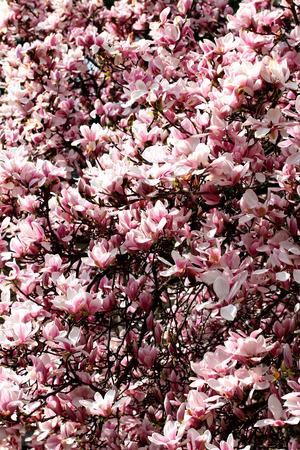 Gro�ansicht Bild von Magnolia Blumen, sch�ne Blume Hintergrund