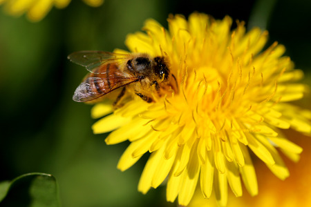 Close up shot of Bee on the Dandelion flower