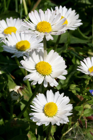 Close up shot of white daisy flower, like some nice flower background  photo