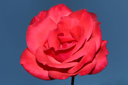 Close up shot of Pink Rose flower, with blue sky background  photo