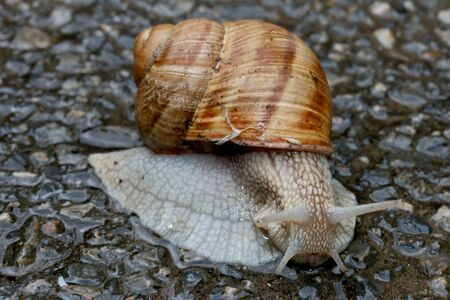Snail on the asphalt, closeup shot. Stock Photo