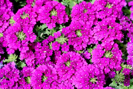 Closeup shot of Verbena flover in Violetpink color. Stock Photo