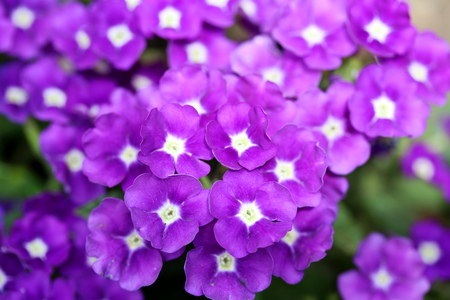 Closeup shot of Verbena flover in Violetpurple color. Stock Photo