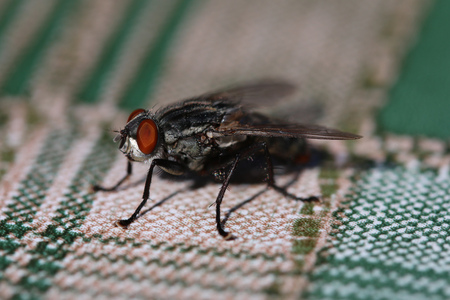 Closeup - macro shot of Housefly on the table.