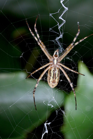 This is a closeup shot garden spider in the net