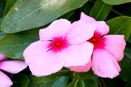 Closeup shot of pink Vinca flower, for nice flower background. Stock Photo