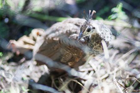 kuropatwa: Ptaka kuropatwa Zdjęcie Seryjne