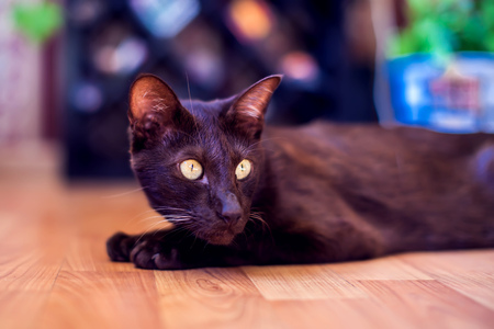 Oriental shorthair cat sitting and watching, gray animal, domestic kitty