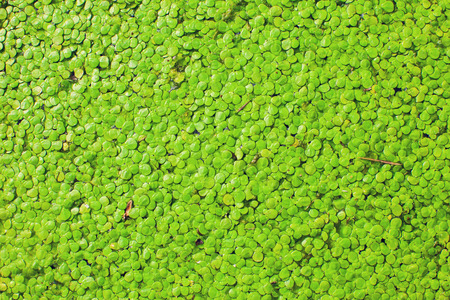 Natural Green Duckweed on the water as a background or texture.