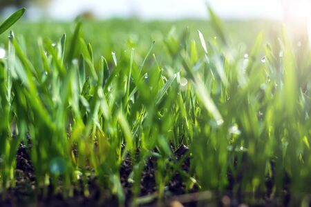 Young wheat seedlings growing in a soil. Agriculture and agronomy theme. Organic food produce on field. Natural background. Banco de Imagens