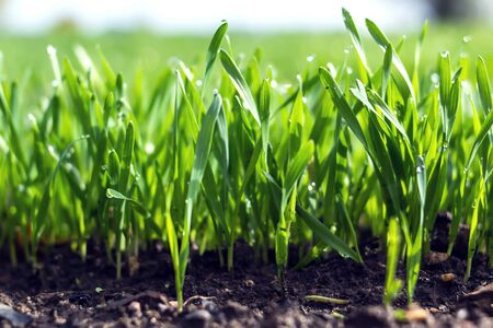Young wheat seedlings growing in a soil. Agriculture and agronomy theme. Organic food produce on field. Natural background. Banco de Imagens - 131194927