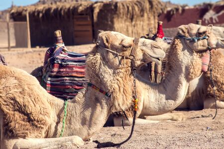 Egypt, Hurghada, 12 may 2019, beduins and tourits ride a camels in the desert .